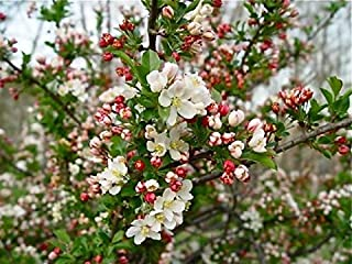 Sargent Crabapple Malus sargentil APX 12 inches Nice Tree for Birds Bees