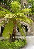 TROPICA - Australischer Baumfarn -200 Sporen inklusive Kultursubstrat