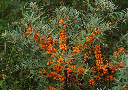 15 Semillas espino cerval de mar (Hippophae rhamnoides) Árbol