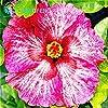 Environ 100 Pieces / Lot géant Graines Hibiscus Flower Garden & Home vivaces en pot Plantes Fleurs Okra Hibiscus Bonsai Graines de gazon #3