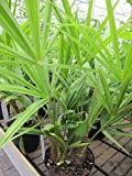 Chinesische Hanfpalme - Tessiner Palme - Trachycarpus fortunei