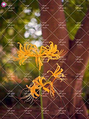 2PCS vrai Lycoris Radiata Ampoules Bana Ampoules (pas de graines) Fleurs en pot Ampoule d'intérieur Bonsai usine pour la maison Jardin 5