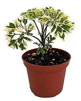 Variegated Japanese Ming Aralia Tree Plant - Polyscias fruticosa - 2.5  Pot