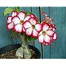 Pinkdose importato bianco pianta di aloe vera Seed