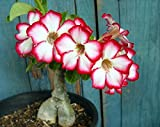 Tropica - Succulents - Rose du Désert (Adenium obesum) - 8 Graines