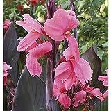 Canna Bulbos,Se Puede Regalar A Amigos,Plantas De JardíN,Plantas Decorativas,Exquisitas Flores Cortadas-11 Rizomas,1