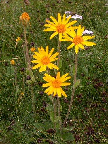 Asklepios-seeds® - 50 Samen von Arnica montana, Bergarnika, Bergwohlverleih, Arnika, geschützte Art