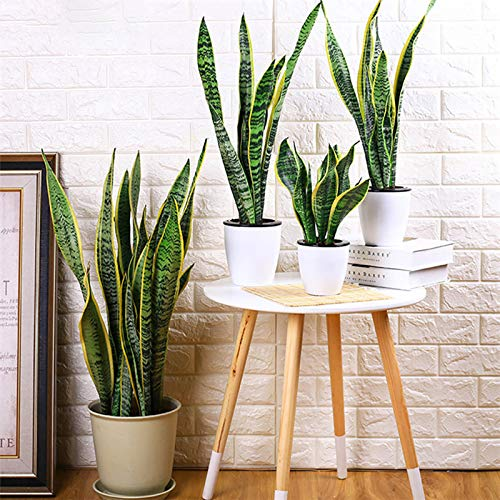 Planta Sansevieria Marca XdiseD9Xsmao