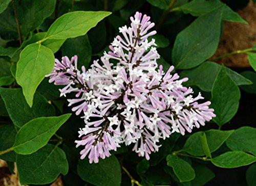 Flieder violette Blüte Koreanischer...