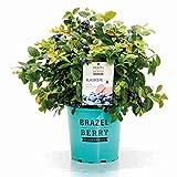 BrazelBerry 'Pink Breeze' Blaubeere , atemberaubende Laubfärbung und große XL-Beeren , Heidelbeere , winterhart , Obst für Garten, Terrasse, Balkon oder Kübel