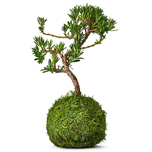 Bonsai Tree Pine Kokedama Indoor 9 Year Old Real Live Mature House And Desktop Plant - The Green Moss Ball Is The New Art With Japanese Zen Gardens And Is A Unique Idea As A Bonzai Gardening Gift - 25cm High
