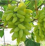 KINGDUO 50 Pc/Paquete Dedo Semilla De La UVA Fruta Deliciosa En Macetas Uvas Plantan Semillas para El Hogar Y Jardín-Verde
