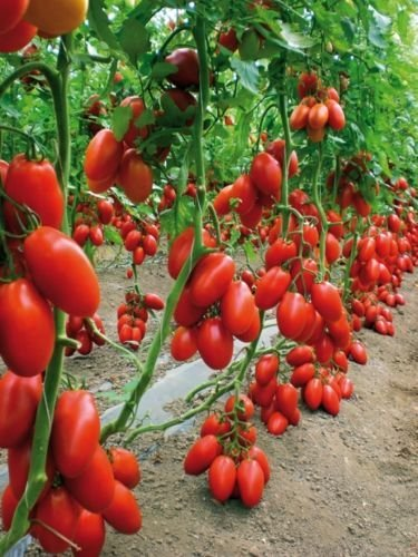 SAN MARZANO Tomato Heirloom    Pack of 30 Seeds    2PACKETS Combo    Sold by Seedscare India