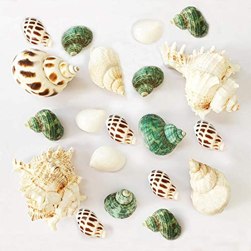 Shell Hermit Crab Shells Turbo Seashell Natural Sea Conch Hermit Crab House for Décor