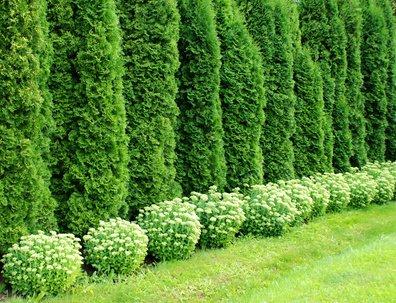 Riesenlebensbaum Thuja plicata 20 Samen