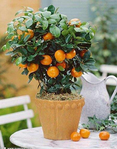 Golden Delicious orange semences Mini Potted arbres fruitiers Graines Bonsai Intéressant planter 50 particules/lot 7