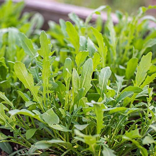 ca. 2000 Samen Salatrauke Garden Rocket - Salatrauke mit nussigem Aroma, Rucola
