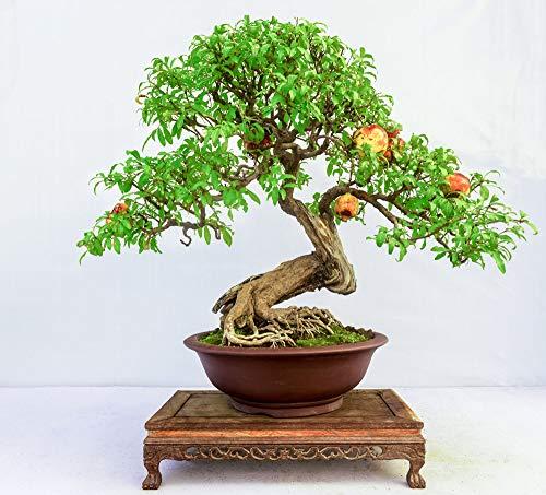 10 Pcs Pomegranate Seeds,Bonsai Fruit Seeds,Small Deciduous Tree