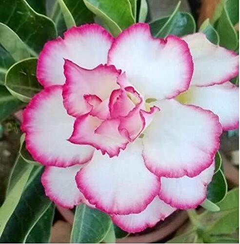 graines importées réel, sac 1pcs/plante colorée Desert Rose bonsaïs, Adenium obesum graines bricolage jardin maison 9 expédition