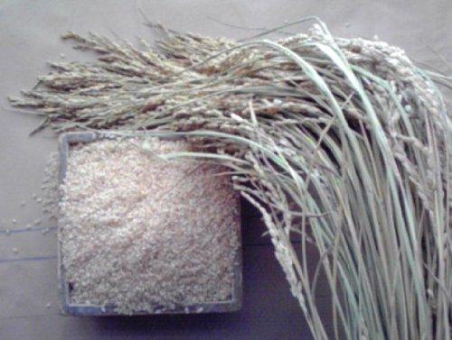当年産 新米 玄米 食べたことのないおいしさ絶唱のこしひかり。 無農薬 レンゲの香りの甘い米 10kg