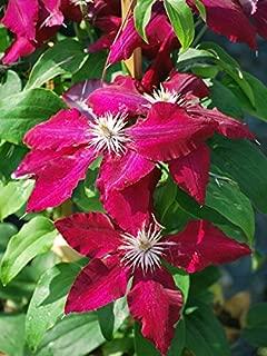 Perennial Farm Marketplace ((Clematis Hybrid Rebecca) Vine, 4 Quart, Velvety Red Flowers