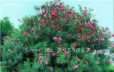 Hot 100 Pcs vivaces fleurs Phlox Graines exotiques Bonsai Graines de fleurs belles fleurs multi couleur Plante en pot Diy jardin 2