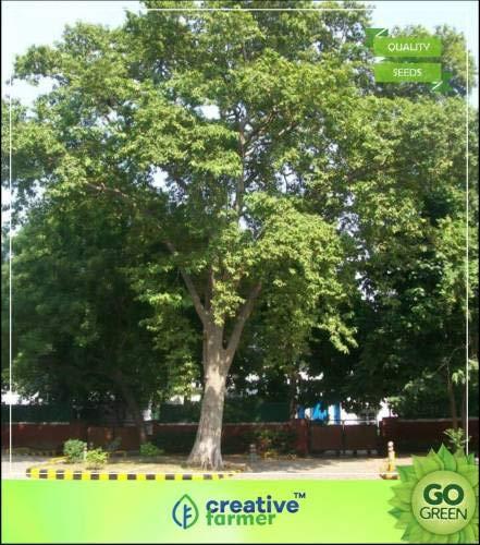 FERRY Hohe Wachstum Seeds Nicht NUR Pflanzen: Seed Chothi Nakshatra s - Terminalia Arjuna Samen Samen für Schatten Seed (10 pro Paket)