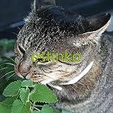 300pcs cataire Graines Catmint Nepeta Cataria Graines vivaces herbes Graines de fleurs Bonsai