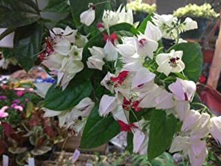 CLERODENDRUM - Bleeding Heart White/RED - 1 Live Plant - 4