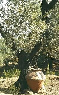 Plant Olive Tree 'Mission' Olea Europaea Get 1#GG01YN