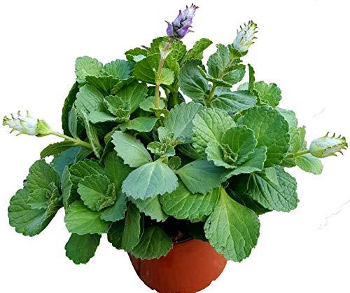 Coleus Canin'Verpiss-Dich®'-Pflanze,3...