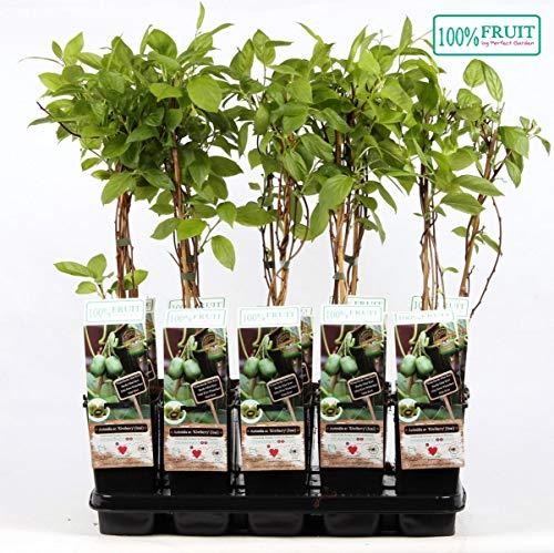 Mini-Kiwi Issai 30 cm - Actinidia arguta Kiwiberry selbstfruchtend