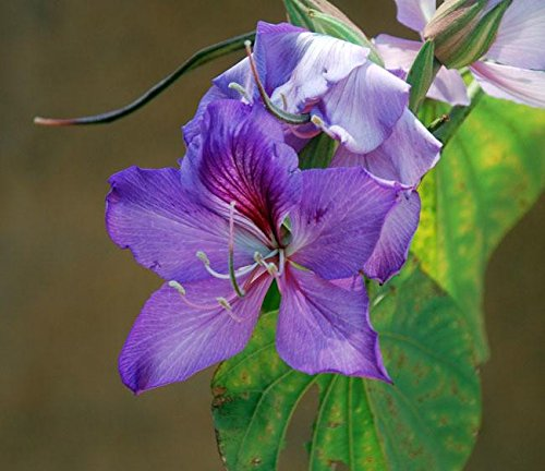 Orchid Tree Seeds (Bauhinia variegata) 4+ Rare Seeds + FREE Bonus 6 Variety Seed Pack - a $29.95 Value! Packed in FROZEN SEED CAPSULES for Growing Seeds Now or Saving Seeds For Years