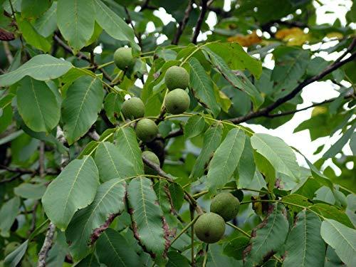 Echte Walnuss Juglans regia Pflanze 25-30cm Walnussbaum Welschnuss Baumnuss