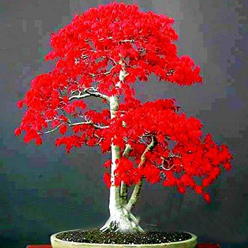 100 PC semillas de árboles de abeto japonés abeto Abies semillas del árbol de plantas Semillas Semillas follaje por un jardín Bonsai Tree resistencia al frío