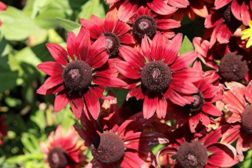 Sonnenhut 'Cherry Brandy' 30 Samen, Rudbeckia -Seltene und erstaunliche Vielfalt