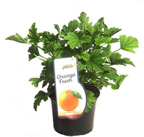 Pelargonium 'Orange Fresh'- Duftgeranie Orangengeranie - im 12 cm Topf