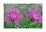 Wiesen-Flockenblume - Gewöhnliche Flockenblume - Blume - 100 Samen
