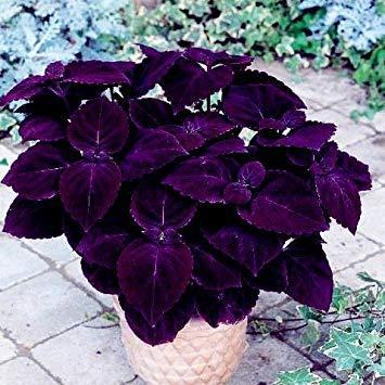 VISTARIC 2: Double Dahlia Seed Mini Mary Fleurs Graines Bonsai Plante en pot bricolage jardin odorant fleur, croissance naturelle de haute qualité 50 Pcs 2