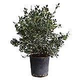 Altezza: 90 CM Diametro Vaso:24 CM Periodo di fioritura: Maggio,Giugno,Luglio,Agosto Tipo di pianta: Sempre verde Quando rinvasare: Primavera