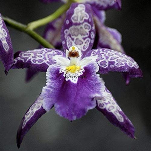 Go Garden 08: 100X Divers exotiques Hydrangea Orchid Ideal Garden Seeds Rare fleurs en pot K234