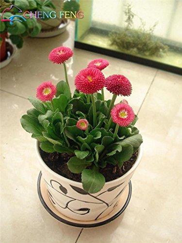 Plum: 50 Mix Couleur Daisy Hardy chrysanthèmes Graines de fleurs exotiques Fleurs d'ornement Maison et Jardin Décoration
