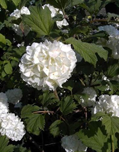 Gefüllter Schneeball Roseum - Echter Schneeball - Viburnum opulus Roseum (40-60)