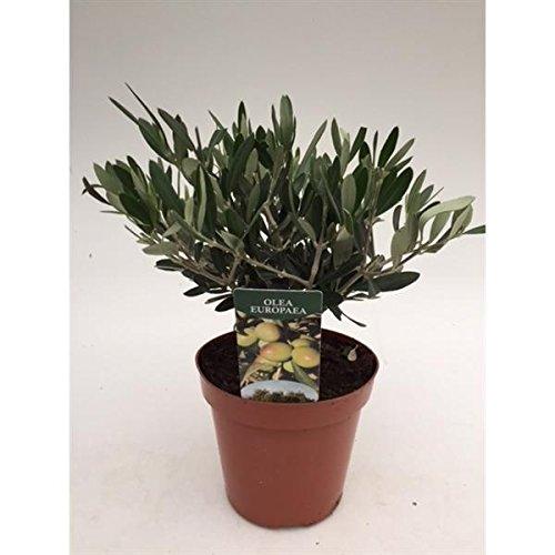 Olivenbaum - Olea Europea Stämmchen 30 cm Formgehölz