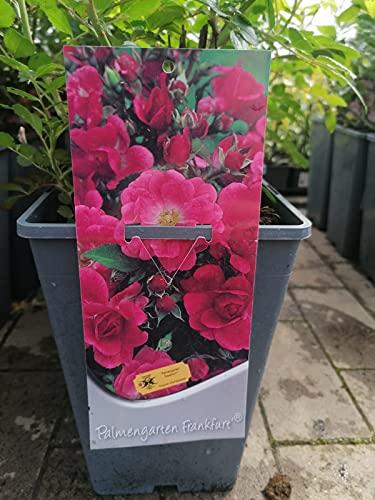 Beetrosen Palmengarten Frankfurt 3 Liter Topf - Rose - Rosen - Gartenrosen