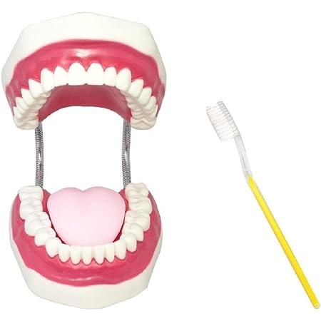 [シーエムワイ セレクト] 歯 模型 歯列模型 歯模型 歯列 模型 大型 モデル 無段階 開閉式 歯ブラシ セット