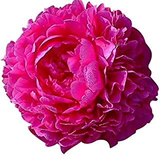 Best peony bulbs for sale Reviews