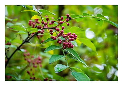 Szechuan- Pfeffer (Zanthoxylum piperitum)