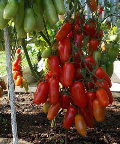 100 pcs/paquet Précipité nouvelles Plantes d'extérieur Promotion Jardin semences de tomates en pot fruits Bonsai Balcon de semences de légumes 6