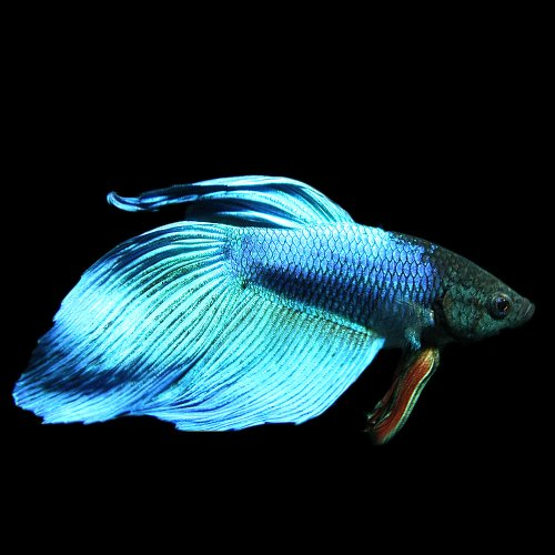 (熱帯魚)ベタ トラディショナル オス 緑系(約5cm)<1匹>[生体]